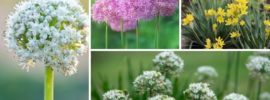 Different Types of Alliums (Photos plus Growing Tips)