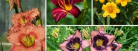 10 Different Types of Daylilies (Photos)