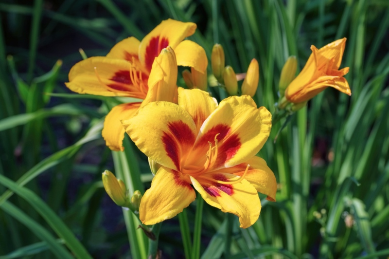 Fooled-Me-Daylily