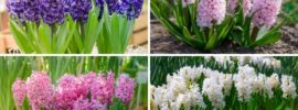 The Different Types of Hyacinth (Plus Care Tips)