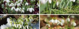 Different Types of Snowdrops (Varieties and Planting Tips)