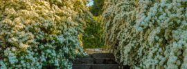 Growing Guide: Tips for Growing Spirea