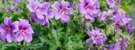 Growing Guide: Tips for Growing Cranesbill Geranium