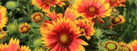 Growing Guide: How to Grow Blanket Flower