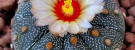 Growing Guide: Growing Star Cactus (Astrophytum asteria)