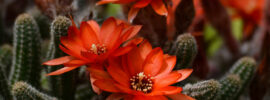Growing Guide: Tips for Growing Peanut Cactus