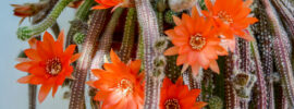 Growing Guide: Tips for Growing Rat Tail Cactus