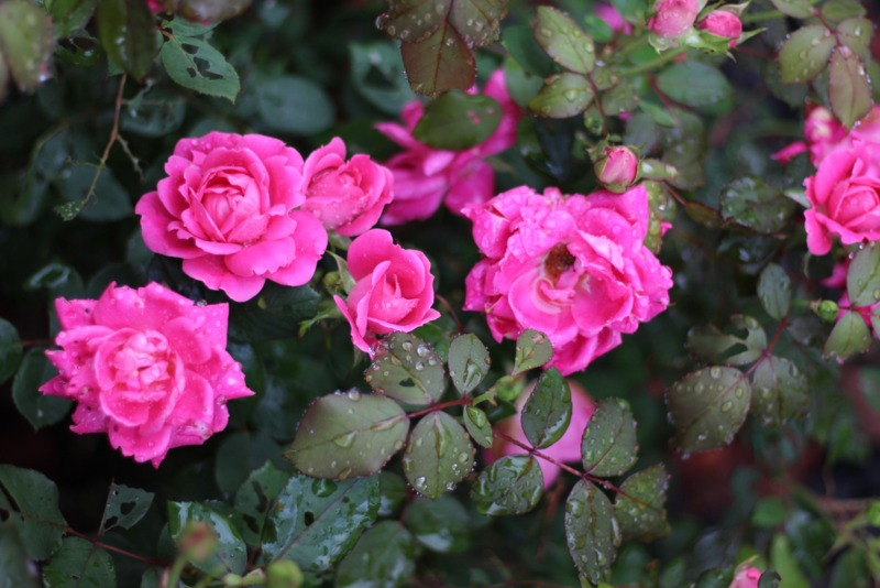 Knock-Out-Rose