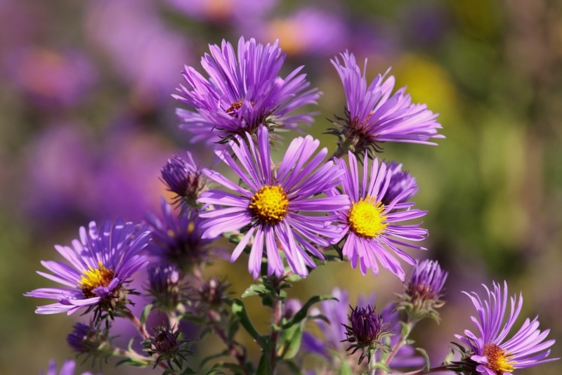 New-England-Aster