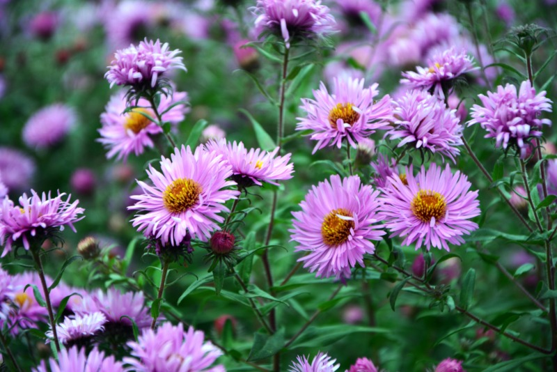 New-England-Asters