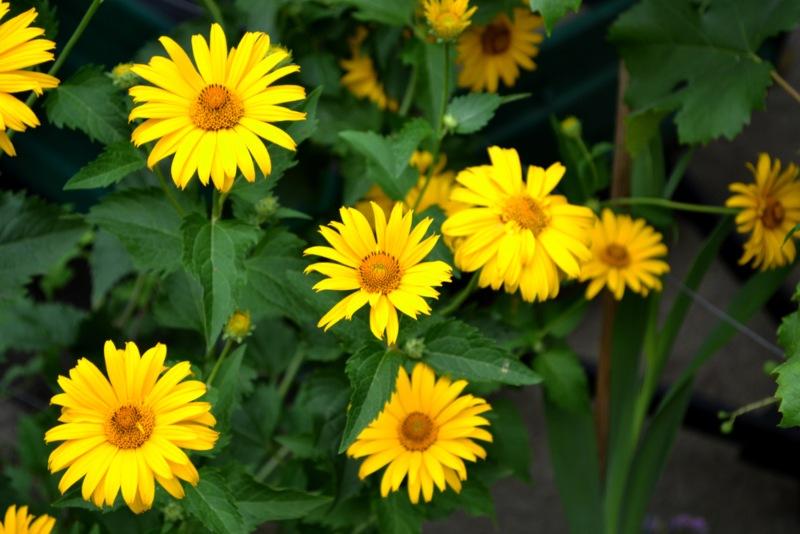 Perennial-Sunflower
