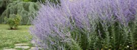 Growing Guide: How to Grow Russian Sage