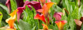 How to Grow Calla Lily (Complete Growing Guide)