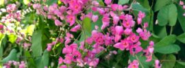 Growing Guide: How to Grow Coral Creeper (Barleria repens)