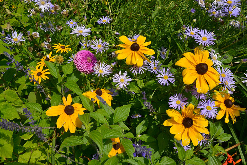 Black-Eyed Susans With Asters