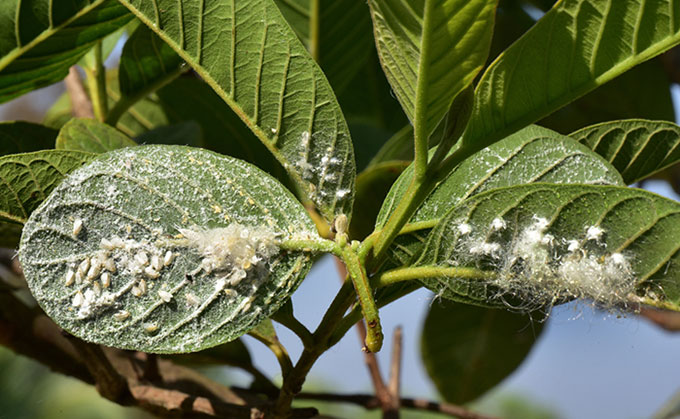 Mealy bugs on plant