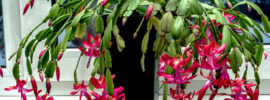 What are the Best Pots for Christmas Cactus?