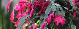 Common Christmas Cactus Pests and Solutions
