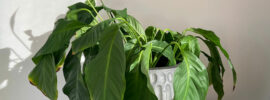 Why Is My Peace Lily Dying?