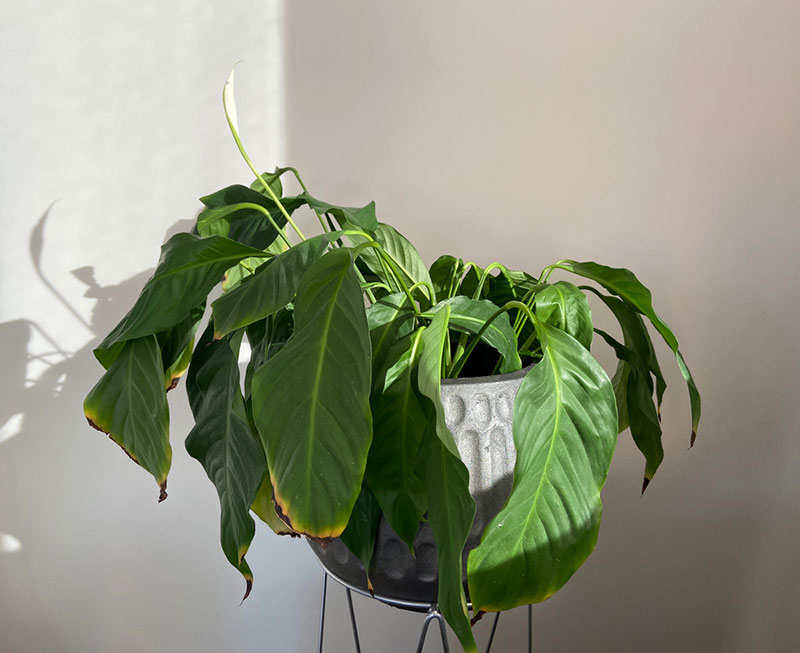 dying peace lily