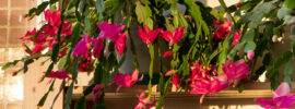 How to Repot Your Christmas Cactus (Step by Step)