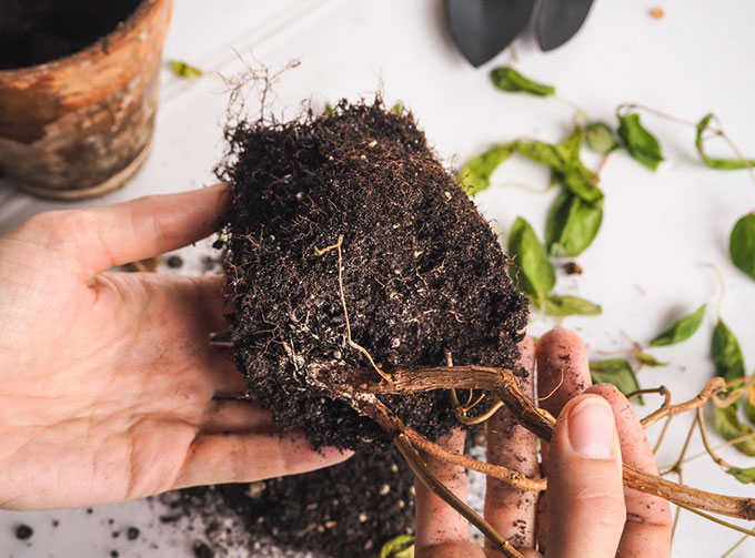 root system rotting