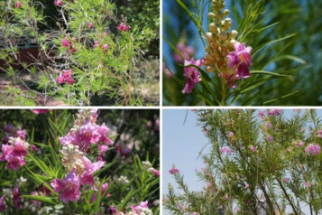 Growing Guide: How to Grow Desert Willow