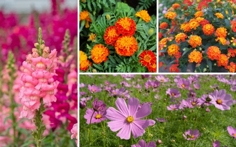 Drought-Resistant Annuals