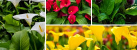 Types of Calla Lily
