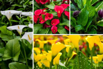 10 Different Types of Calla Lily (Plus Care Guides)