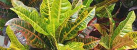Why Is My Croton Dropping Leaves?