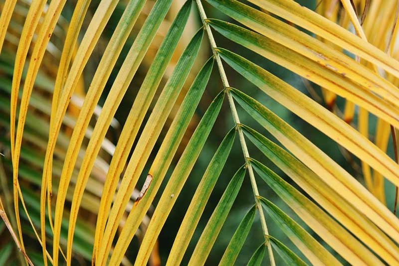 yellow palm leaves
