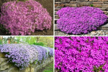 How to Grow and Care for Creeping Phlox